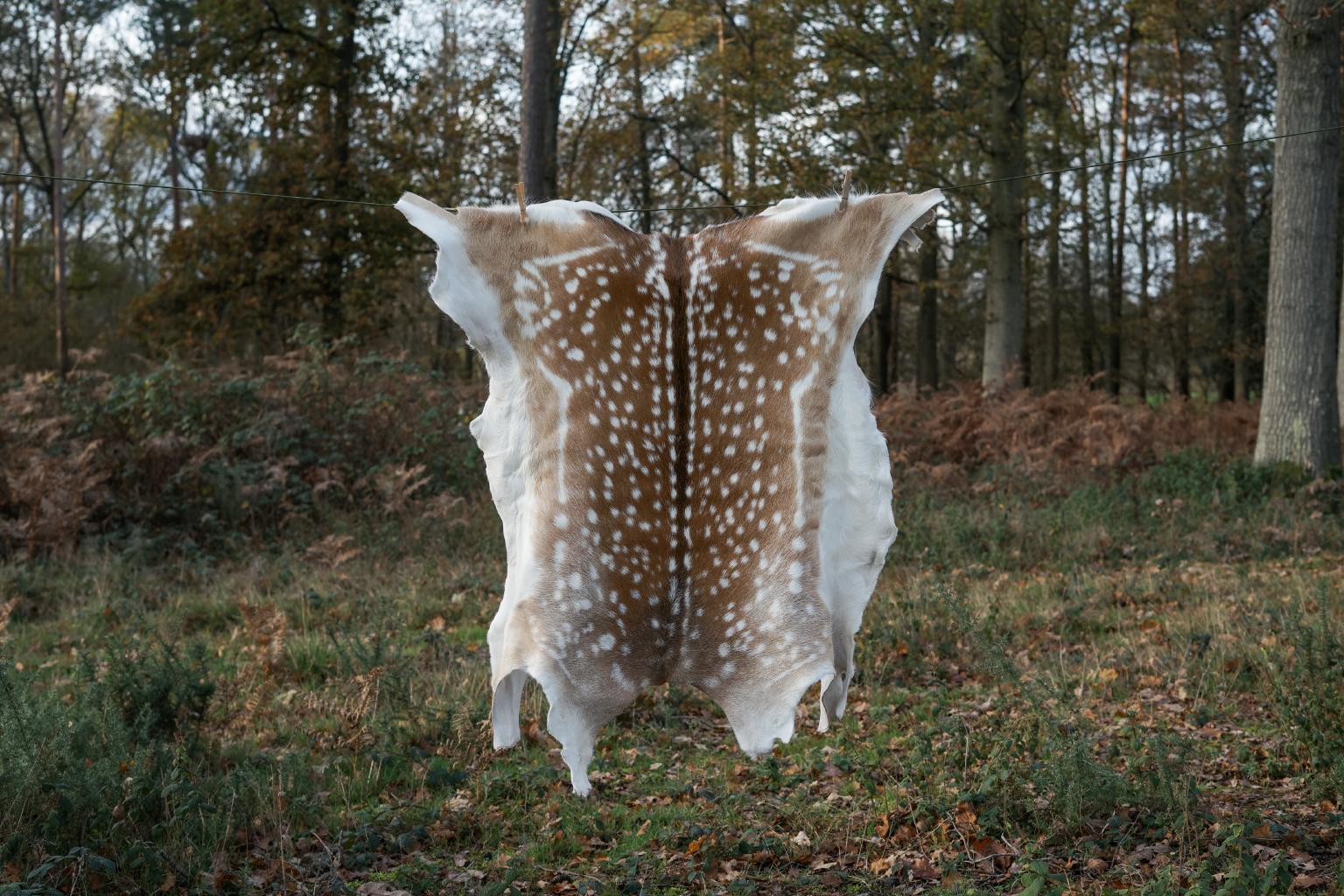 Fallow deer hide G